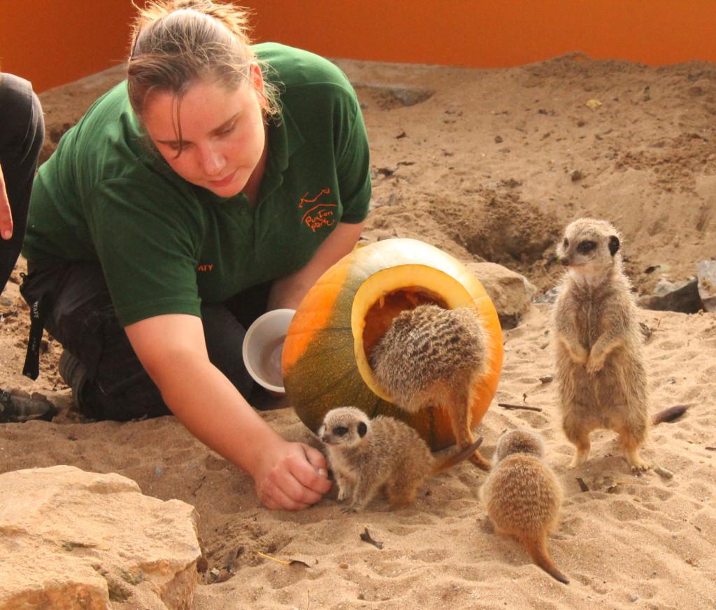 Puxton's meerkats enjoying pumpkin treats