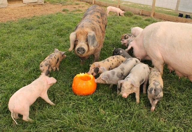 Puxton's piglets enjoying pumpkin treats